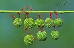 Bộ ảnh kỳ diệu chứng minh sức khỏe và sức mạnh đoàn kết của loài kiến