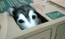 Bật cười với cô chó husky luôn nghĩ mình là... mèo con