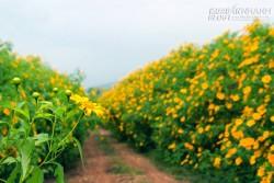 Lạc lối giữa sắc vàng hoa dã quỳ khi du lịch Đà Lạt tháng 10