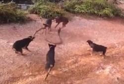 Kinh hãi trước cuộc chiến quyết liệt giữa rắn hổ mang chúa và 5 chú chó