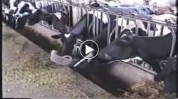 Video chứng tỏ bò không hề ngu như bạn nghĩ