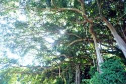 Hai cây đa độc nhất vô nhị ở bán đảo Sơn Trà