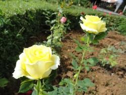 Cách trồng hoa hồng cực hay và đẹp