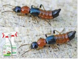 Cách phòng trừ kiến ba khoang