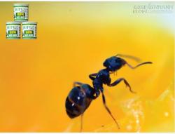 Cách trừ kiến đen
