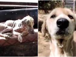 Chú chó có bộ lông bị hóa đá lột xác sau khi được giải cứu