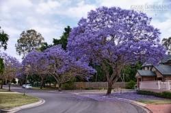 Du lịch Australia ngắm mùa phượng tím lãng mạn