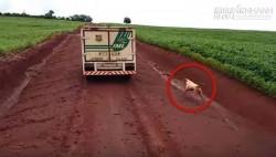 Vì điều này mà hai chú chó không ngừng đuổi theo chiếc xe suốt 16km khiến triệu người xúc động