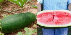 Bí ẩn về loại dưa hấu siêu ngọt có thể gây chết người từ thế kỉ 19