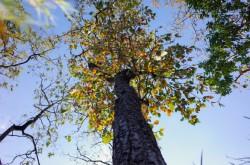 Rừng khộp Tây nguyên mùa thay lá