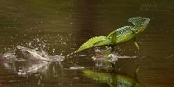 Điểm danh những loài động vật có thể đi trên mặt nước