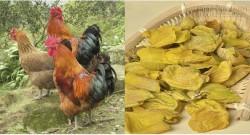 Màng mề gà bổ hơn đông trùng hạ thảo