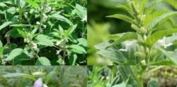 Bài thuốc quý từ hạt vừng trị táo bón, sỏi mật, thoái hóa khớp nhanh chóng