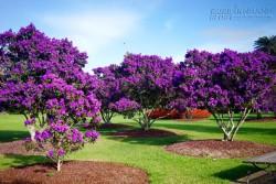 Sydney tháng 3, mùa thu tím màu tím hoa mua