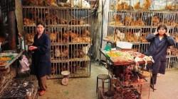Gà bệnh của Trung Quốc giá rẻ như bèo có nguy cơ tràn sang Việt Nam