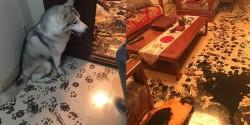 Chú chó Husky làm chuyên gia nội thất đáng yêu nhất quả đất