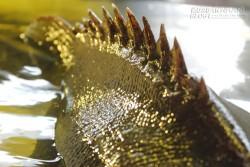 Cá mú nghệ khủng vẫy vùng tại Sài Gòn