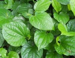 Bài thuốc giải độc, chữa đau nhức từ lá lốt