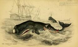 Bí ẩn loài cá dùng trán húc tình địch và làm chìm thuyền