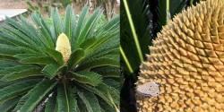 Sự thật về loài cây ngàn năm mới nở hoa