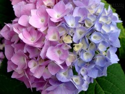 Mẹo đổi màu hoa nhờ thứ quen thuộc đến không ngờ này