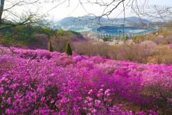 Hoa đỗ quyên nhuộm tím các triền đồi ở Hàn Quốc