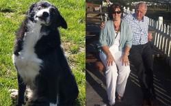 Chú chó vượt gần 400km trong 12 ngày để về với chủ
