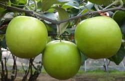 Chữa bỏng bằng bài thuốc vỏ cây táo