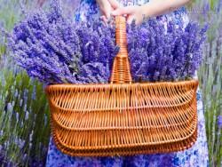 Mùa hè, đổ xô đi ngắm những mùa hoa oải hương tím biếc