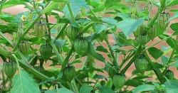 Chữa tiểu đường chỉ nữa tháng là khỏi với loại cây đặc sản ở vùng quê