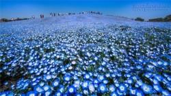 Rừng hoa mắt xanh nở rộ ở công viên Nhật Bản
