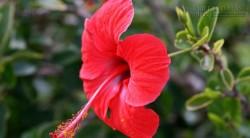 Chia sẻ 8 bài thuốc quý từ hoa dâm bụt không phải ai cũng biết