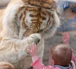 Kì diệu chú hổ khổng lồ quy phục trước bé gái nhỏ xíu