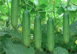 Cách trồng dưa leo (dưa chuột) sai quả trong thùng xốp tại nhà
