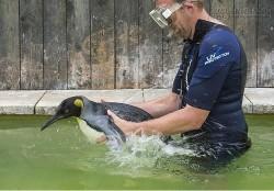 Hi hữu chim cánh cụt phải tập bơi vì… sợ nước