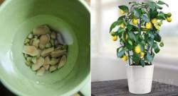 Không tốn 1 xu nào vẫn có chanh ăn quanh năm, ngại gì không thử bí quyết SIÊU ĐƠN GIẢN này