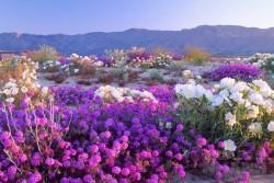 Ngỡ lạc xứ sở thần tiên khi muôn hoa bừng nở trên sa mạc