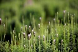 Không cần sang Pháp nữa đâu, cánh đồng hoa oải hương thơm ngát đã nở ở ngay Hà Nội