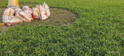 Giá cỏ lá gừng - thi công sân vườn trồng cỏ nhà vườn Đức Tiên Phát, 96411, Cỏ Nhung Nhật - Cỏ Giá Rẻ, Blog MuaBanNhanh, 05/12/2020 16:41:42