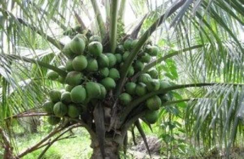 Cung cấp dừa xiêm dây  - giống dừa siêu trái, 82763, Cây Giống Nông Nghiệp, Blog MuaBanNhanh, 03/07/2018 17:09:02