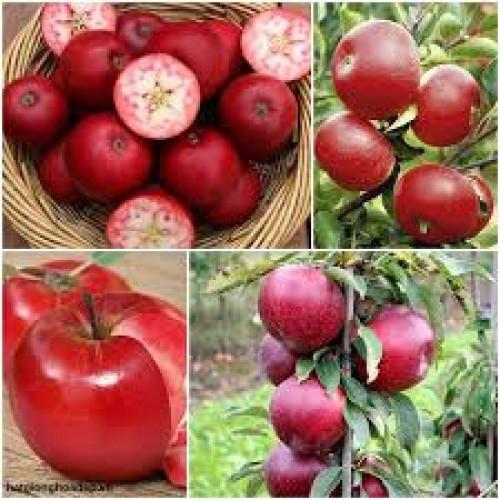 Giống táo chua ruột đỏ RedLove  - Năng xuất cao cho người trồng trọt, 82760, Cây Giống Nông Nghiệp, Blog MuaBanNhanh, 03/07/2018 17:12:27