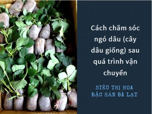 Cách chăm sóc ngó dâu (cây dâu giống) sau quá trình vận chuyển, 77847, Vũ Vương Mai Trâm, Blog MuaBanNhanh, 26/05/2020 18:25:00