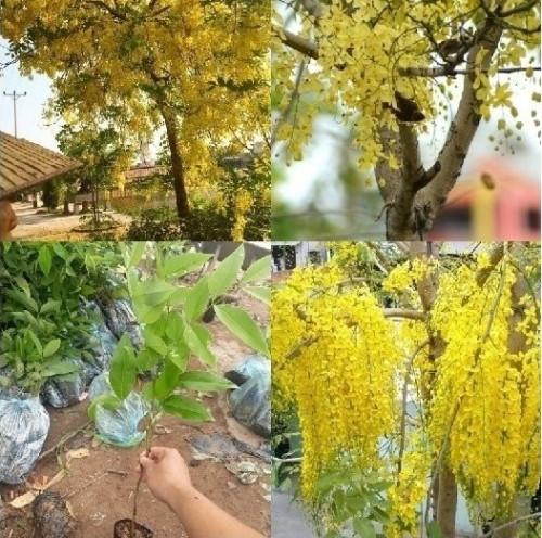 Muồng hoàng yến ( Osaka vàng ), 82273, Vũ Vương Mai Trâm, Blog MuaBanNhanh, 18/06/2018 16:56:44