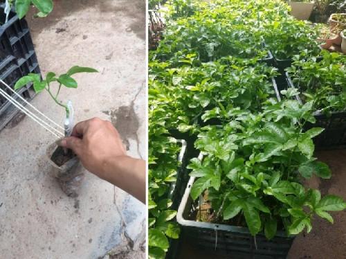 Kỹ thuật trồng và chăm sóc cây chanh dây tại nhà đơn giản cho quả sai, 82902, Cây Giống Nông Nghiệp, Blog MuaBanNhanh, 07/07/2018 09:36:55