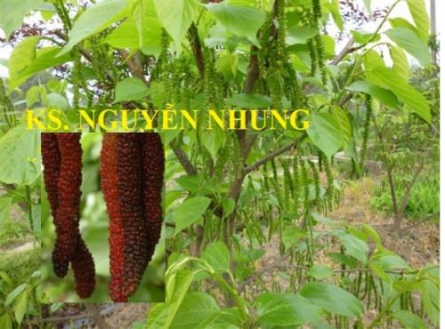 Giống cây dâu quả dài Đài Loan cho năng xuất cao, 83069, Trung Tâm Giống Cây Trồng, Blog MuaBanNhanh, 11/07/2018 08:46:44