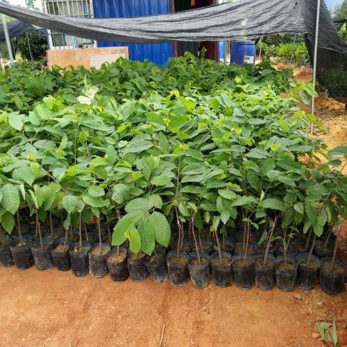 Mua cây giống na bở, mãng cầu Đài Loan ở đâu tốt tại Hà Nội, 83790, Trung Tâm Giống Cây Trồng, Blog MuaBanNhanh, 30/07/2018 13:49:18
