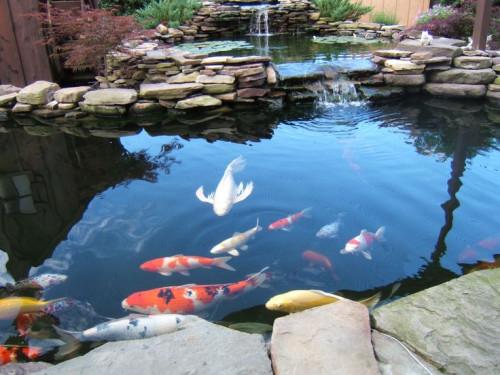 Cách chọn mua giống cá chép Koi Nhật Bản và cách nuôi cá chép Nhật Bản tốt nhất, 85205, Cá Cảnh Thanh Xuân, Blog MuaBanNhanh, 07/09/2018 15:05:20