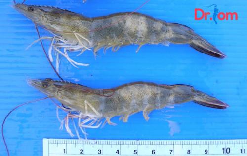 Dấu hiệu của bệnh hoại tử cơ trên tôm thẻ chân trắng là gì?, 85198, Đinh Hùng, Blog MuaBanNhanh, 07/09/2018 11:35:55
