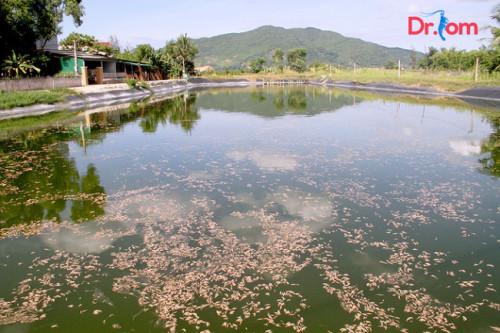 Cách xử lý khí độc trong ao nuôi tôm hiểu quả nhất hiện nay, 85353, Đinh Hùng, Blog MuaBanNhanh, 12/09/2018 08:35:46