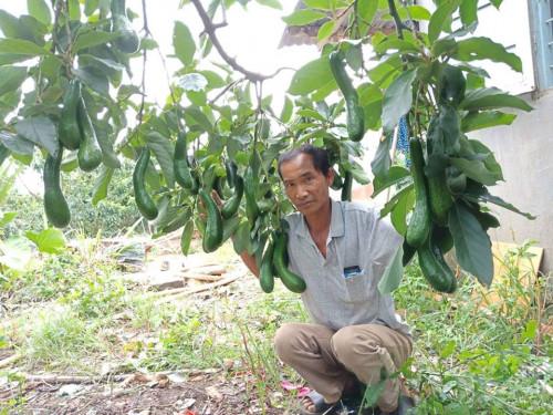 Cung cấp giống bơ 034 đầu dòng - Vườn bơ 034 Dậu Loan, 85538, Nguyễn Văn Dậu, Blog MuaBanNhanh, 21/09/2018 16:30:26